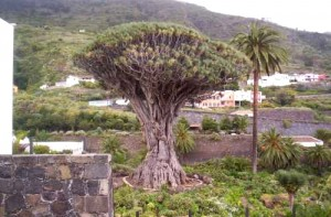 Tenerife's Drago Tree