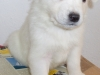 Husky Puppies for Rehoming